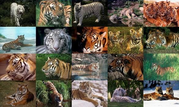 Tigers Photo Screensaver Screenshot 1