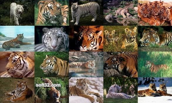 Tigers Photo Screensaver Screenshot 2