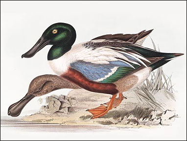 John Gould Ducks and Waterfowl Screensaver Screenshot