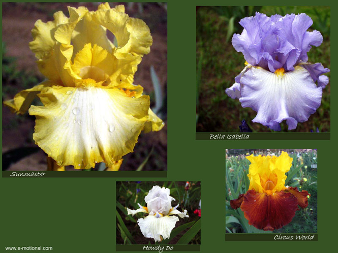 Beautiful Iris Screen Saver Screenshot 1
