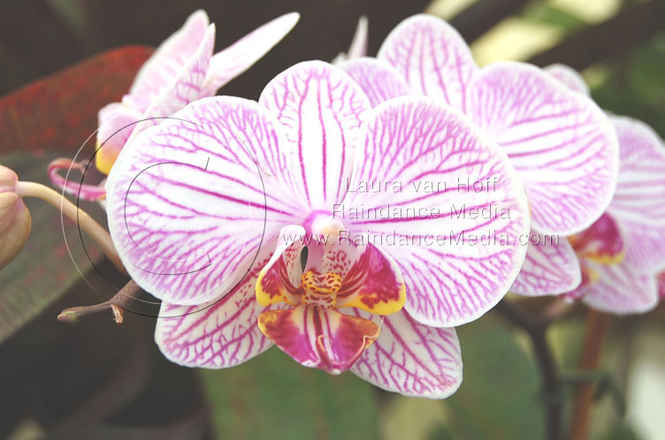 Conservatory of Flowers Orchid Screensaver Screenshot 1